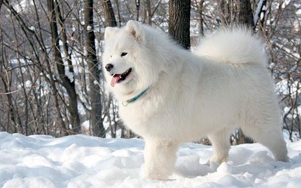 Породы собак: Самоедская лайка