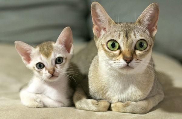 Самые маленькие породы кошек - Сингапурская кошка (сингапура)