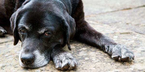 Самой старой собаке на планете исполнилось 30 лет (информация датирована 2013 годом)