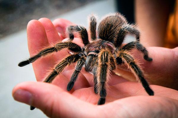 Исходя из наблюдений, южнорусский тарантул, защищающий свое логово