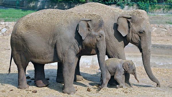 Некогда индийские слоны жили в Юго-Восточной Азии от Месопотамии до Малайского полуострова