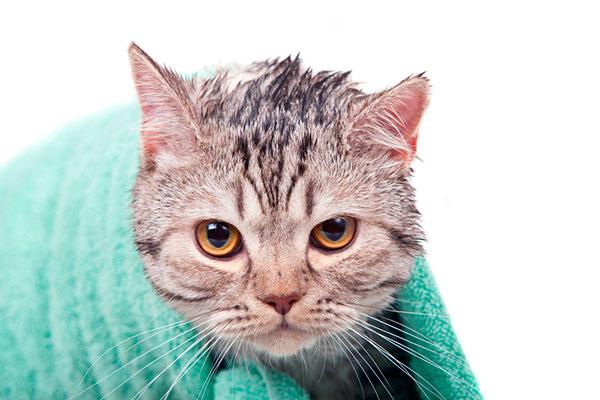 После купания вашего любимца важно правильно провести высушивание шерсти и кожи