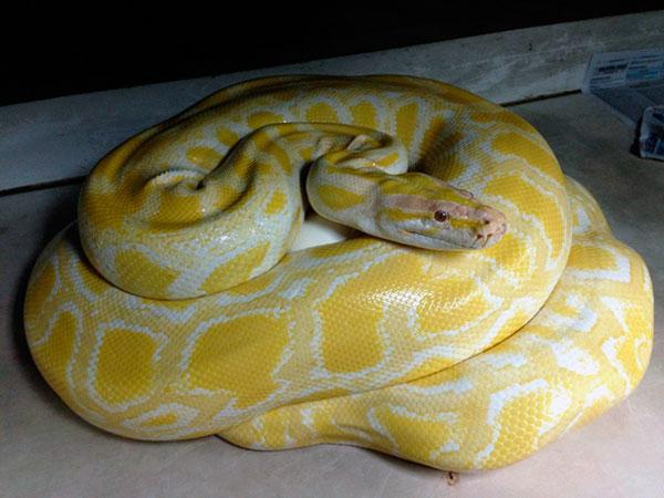 Самые большие змеи - Светлый тигровый питон