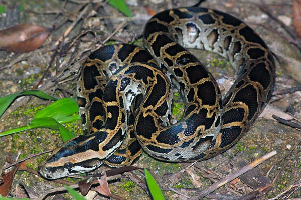 Самые большие змеи - Темный тигровый питон