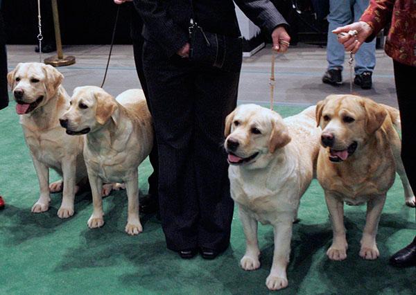 Собака на ринге обязана демонстрировать образцовую выдержку и выполнять стандартные требования