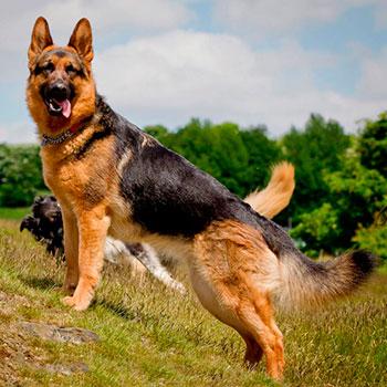 Породы собак: Немецкая овчарка
