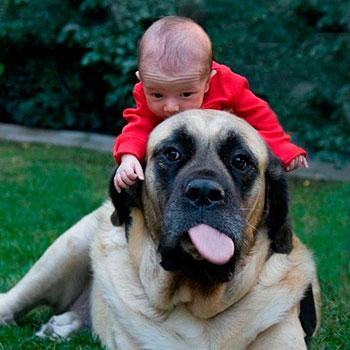 Породы собак: Английский мастиф