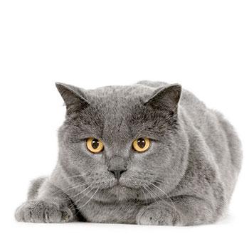 Породы кошек: Шартрез