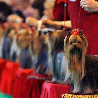 Подготовка собаки к выставке