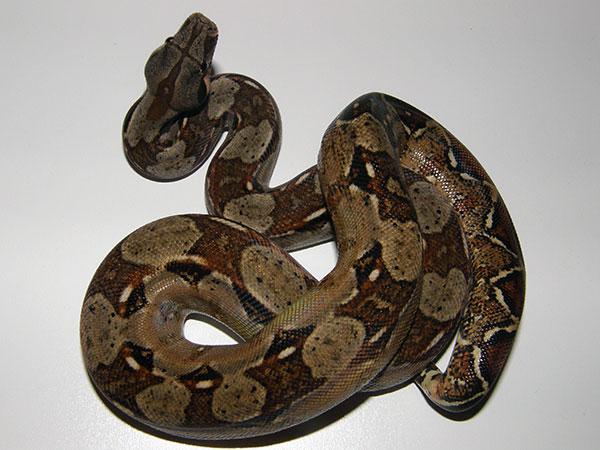 Самые большие змеи - Удав обыкновенный