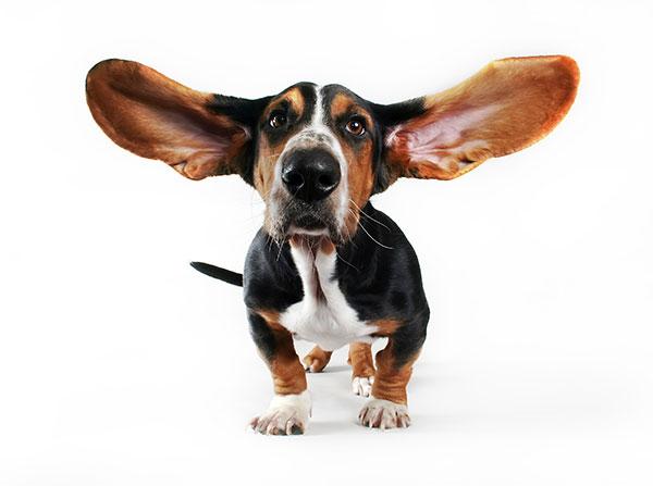 Бассет-хаунд- собаки исключительно для содержания в доме или квартире