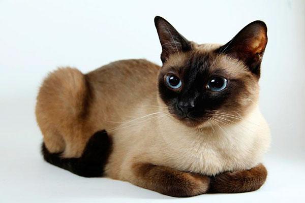 Выбирая малоаллергенного кошку, обратите внимание: Окрас, Шерсть, Фертильность.