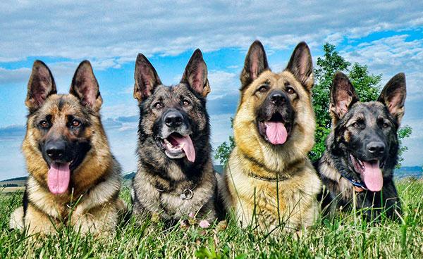 Внешний вид немецкой овчарки окончательно был утвержден 1991 году - некрупная, среднего размера собака