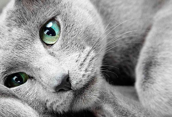 Голубые русские кошки не злопамятны и не будут намеренно вредить своему владельцу