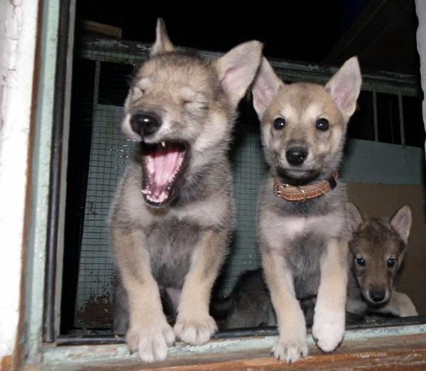 Цена на щенков волкособ колеблется от 20000 до 30000 рублей и она зависит от пола, цвета и происхождения