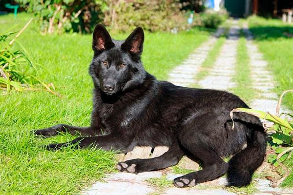 Волкособ – умное и сложное животное, хорошо подумайте стоит ли его заводить Вам и справитесь ли вы с его воспитанием