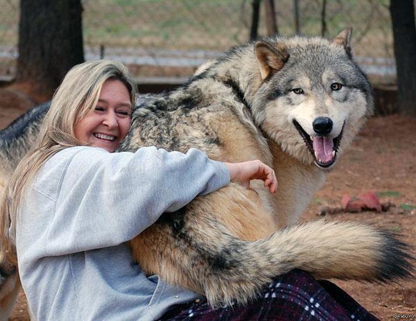Волкособ – собака не для жизни в городских условиях, ему нужно много места