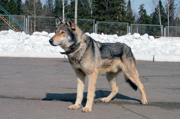 Породы собак: Волкособ