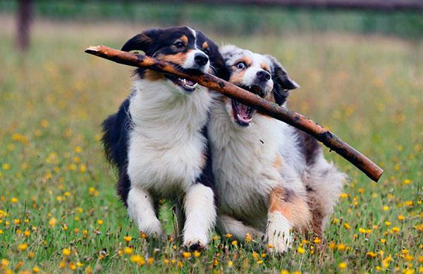 Вашу собаку надо обучить базовым и дополнительным командам