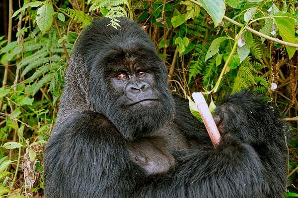 Могучая обезьяна - Восточная горилла