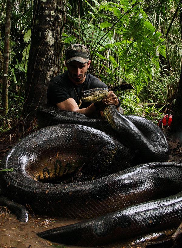 Кайманы, пумы, ягуары - являются основными врагами, но главный враг анаконды - человек