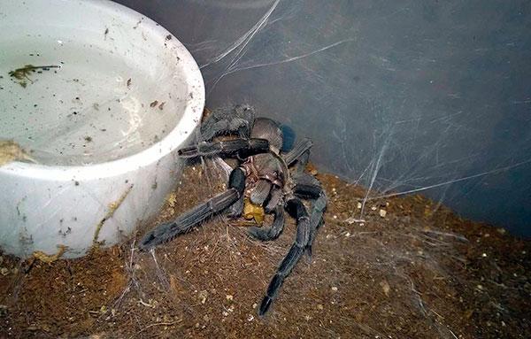 Подрастающие тарантулы кормятся дважды в неделю, взрослые особи – раз в 8-10 дней