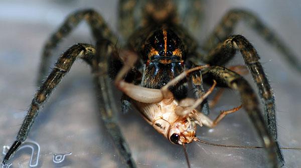 Сверчки неплохая пища для тарантула