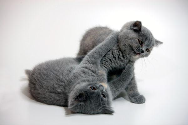 Под видом чистопородных кошек Шартрез часто реализуются «некачественные» британские кошки