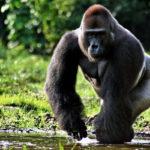 Горилла – могучая обезьяна