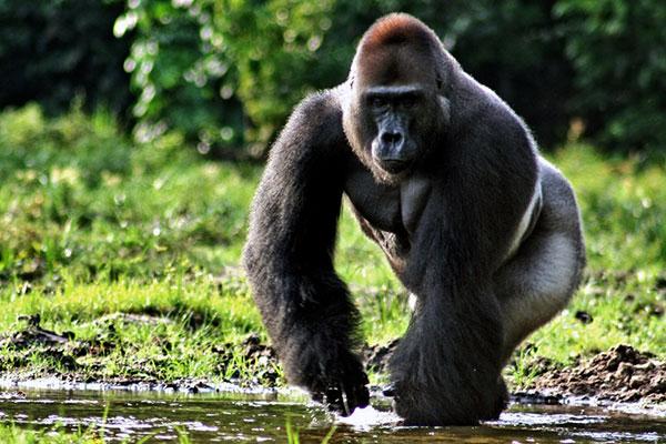 Могучая обезьяна - Западная горилла
