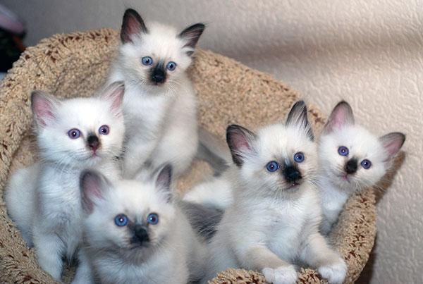 Котята бирманской кошки с родословной могут обойтись в районе 25 000 - 70 000 тысяч рублей