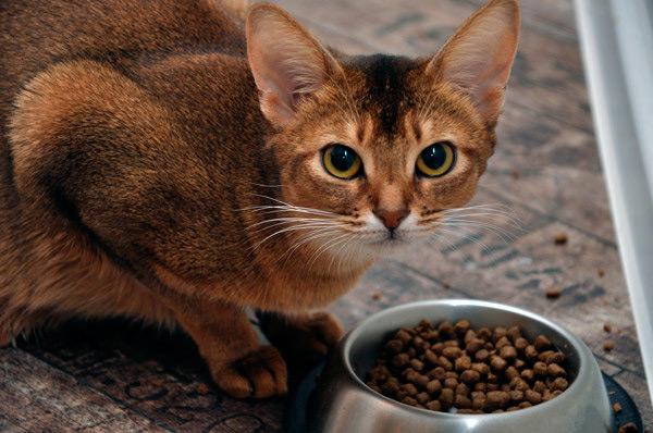 Питание абиссинской кошки сухим кормом