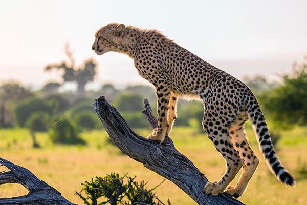 Изначально гепарды населяли практически всю территорию Африки и Азии