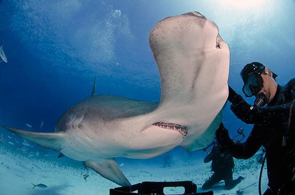При встречи с акулой молотом резкие движения - запрещены!