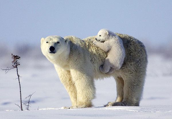 Берлоги белых медведей наблюдаются также на паковых льдах в море Бофорта