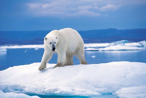 Северный склон Ледовитого океана - основной ареал обитания полярного медведя