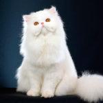 Породы кошек: Персидская кошка