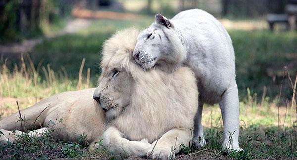 Лев с заболеванием лейкизм (окрас принимает светлый цвет)