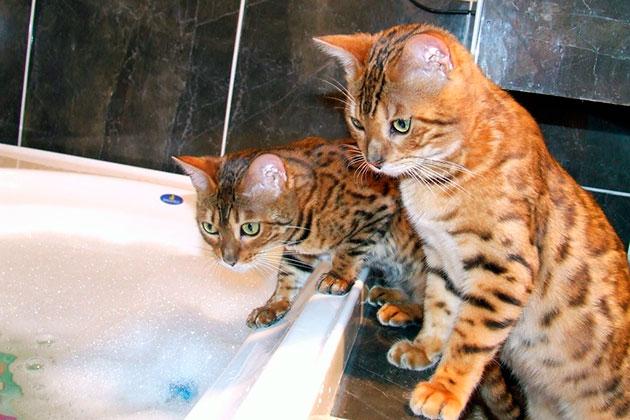 Бенгальские кошки - животные с очень высоким иммунитетом