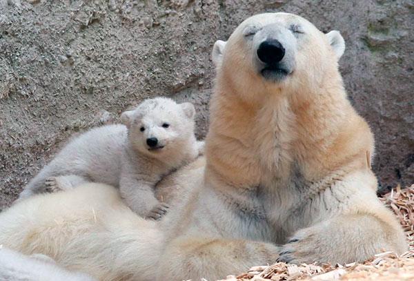Беременность белой медведицы длится, примерно, 195 - 262 дня