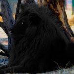 Черный лев – существует или нет