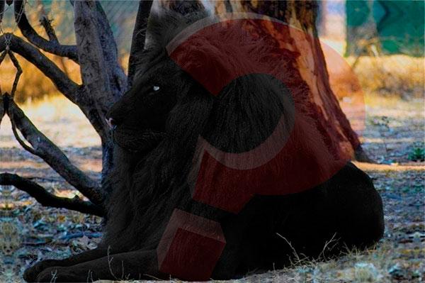 Существует ли лев с черной окраской
