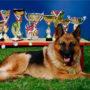 Что такое класс собаки: шоу, брид, пэт