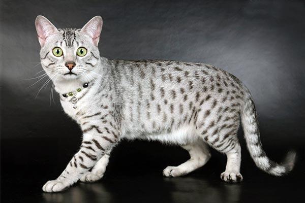 Египетский мау очень активные, любопытные, игривые и умные кошки