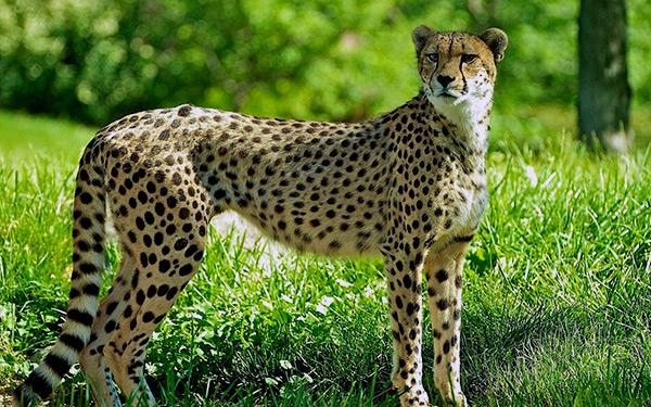Гепард – самая быстрая кошка