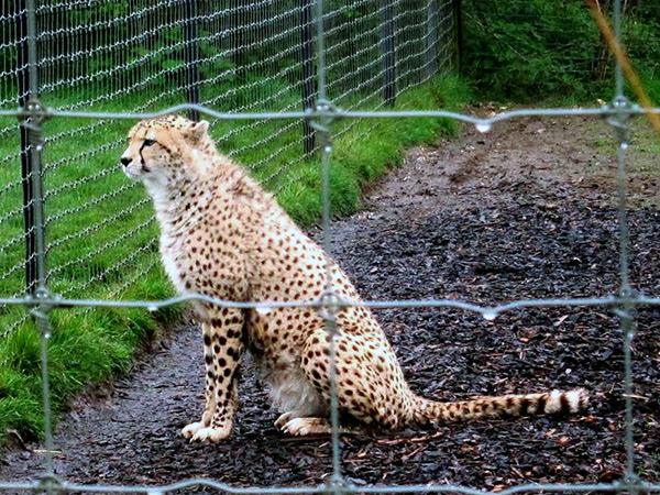 При содержании в неволе, гепарды отличаются от домашних кошек нечистоплотностью