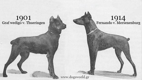 Породы собак: Доберман