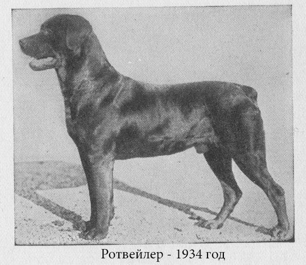 Породы собак: Ротвейлер