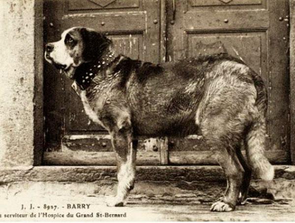 Породы собак: Сенбернар