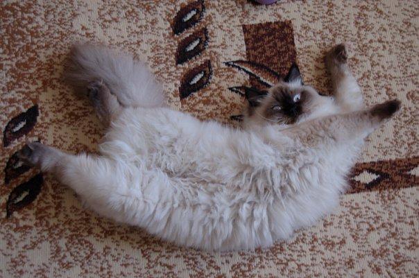 Кошка в эструсе – явление не для слабонервных